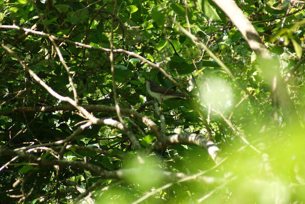Yellow Billed Cuckoo Smith oaks TX