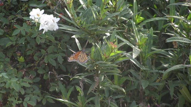 IMG_8024 monarch butterfly on milkweed