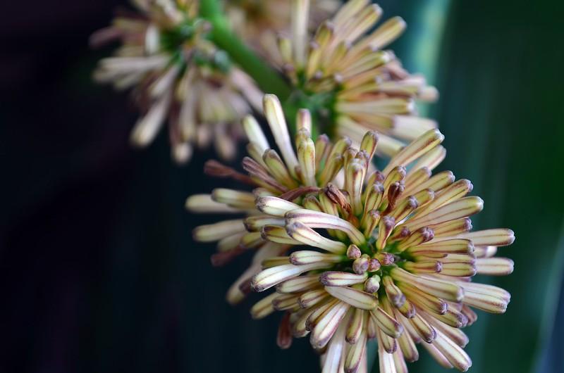 香龍血樹的花苞