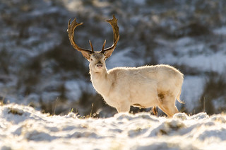 White Fallow Deer-3 | by Philip Blair's Photos