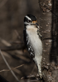 Canadian Hairy Woodpecker | by MedicineMan4040