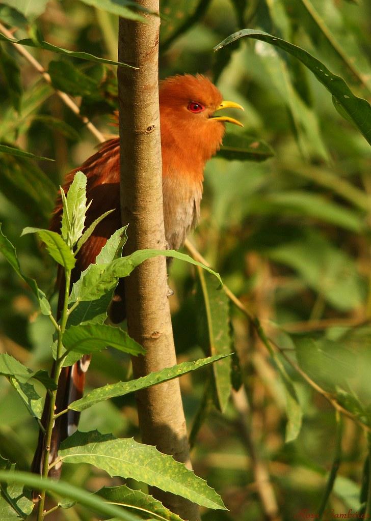 Chincoã-pequeno | Little Cuckoo (Coccycua minuta)