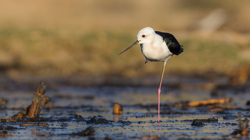 Black-winged stilt | by Awais.M (1M views+ Views Thank you )