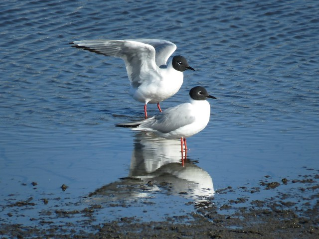 Bonaparte's Gulls on Ballona salt pan shallow water