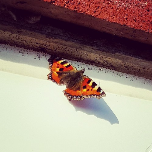 An image of a Small Tortoiseshell butterfly.