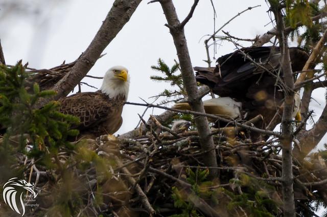 Bald Eagles of Shark River | 2016 - 85