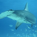 Great Hammerhead - Photo (c) Christa Rohrbach, some rights reserved (CC BY-NC-SA)