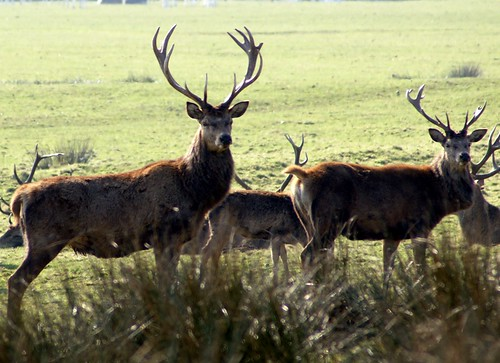 Red Deer | by Dave Hamster