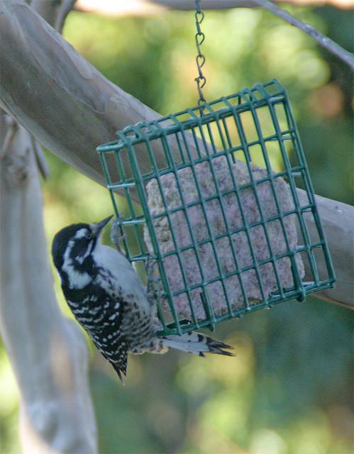Nuttall's Woodpecker female in my yard