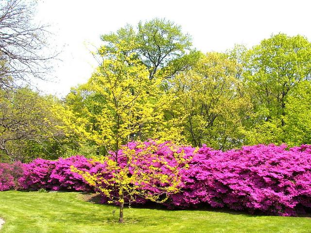 Azalea bushes with yellow tree