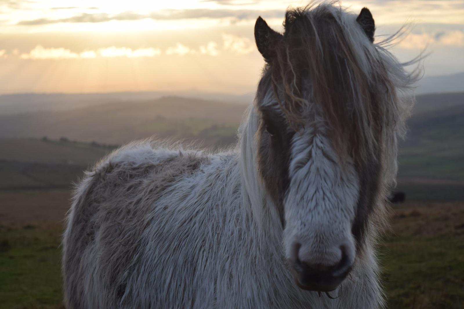Dartmoor Pony - Horse Scanner