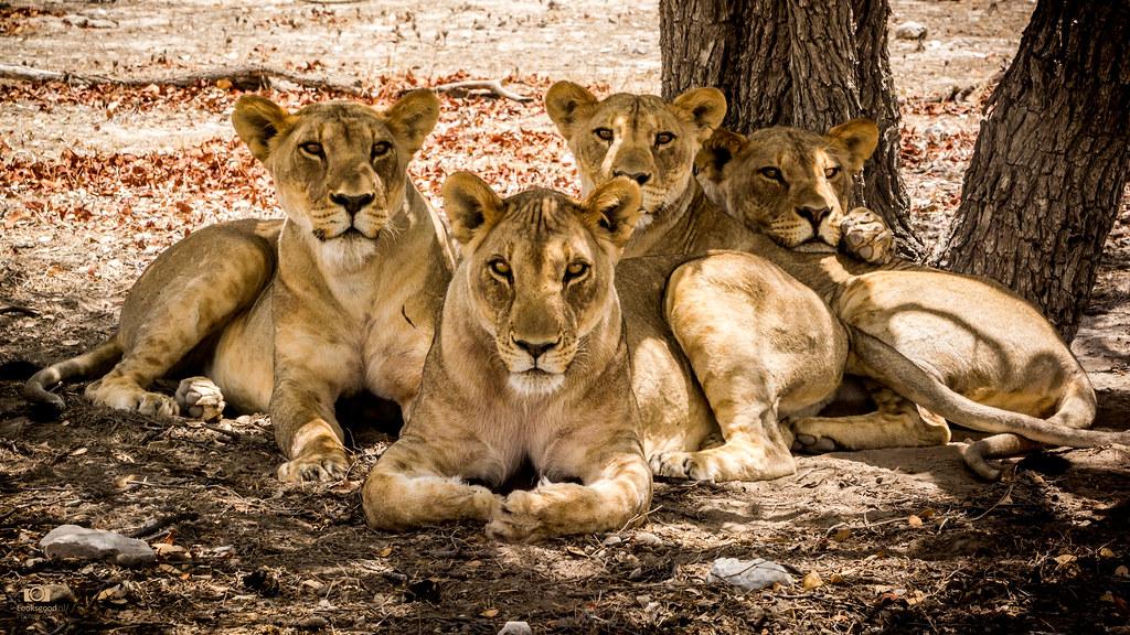 Lions Namibia 4k Wallpaper Desktop Background Wallpaper