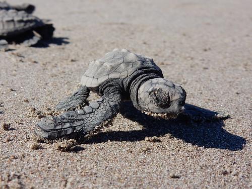 Celestino Gasco - turtle release - 3