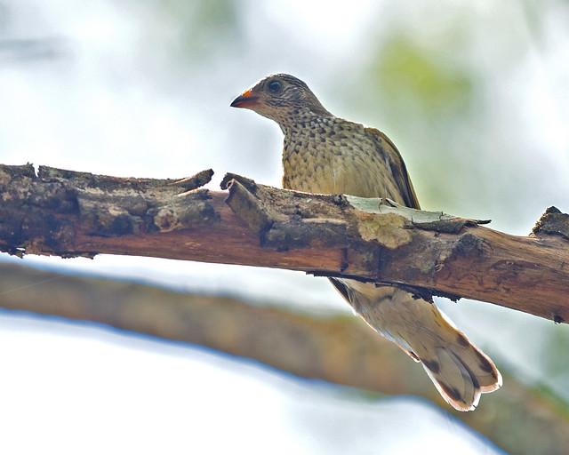 Scaly-throated Honeyguide, (Explored), Indicator variegatus, Bridal Veil Falls, Chimanimani, Zimbabwe