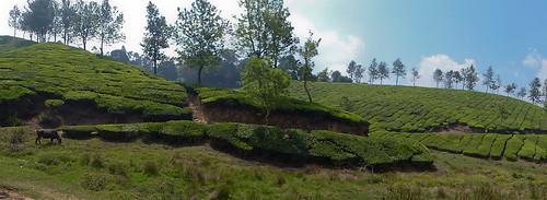 kerala munnar nilgiri teaplantations rwh ramblersworldwideholidays