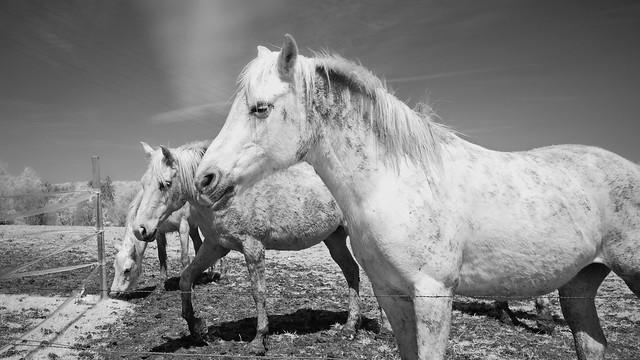 Horses ir