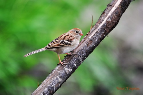Field Sparrow | by Bobpkins