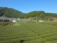 沿線は川根茶の産地、茶畑が広がる