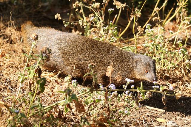 Indian Brown Mongoose - Herpestes fuscus