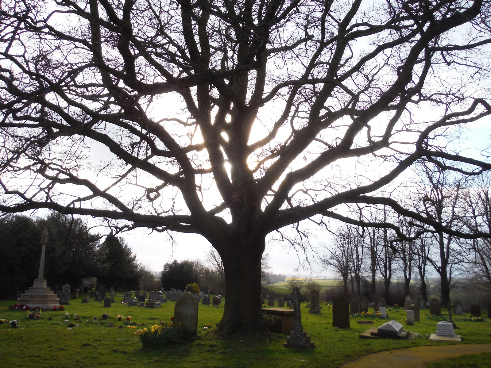 Tree in Churchyard, All Saints, Wing SWC Walk Cheddington to Leighton Buzzard