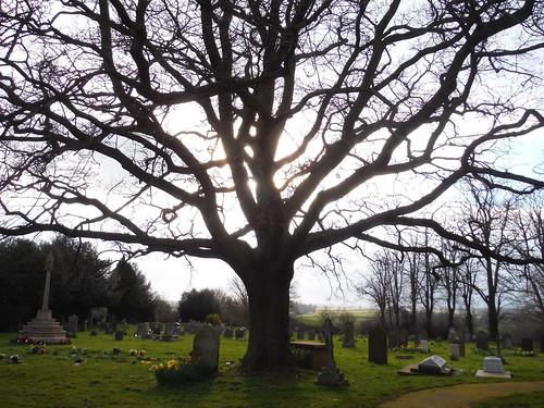 Tree in Churchyard, All Saints, Wing SWC Walk Cheddington to Leighton Buzzard