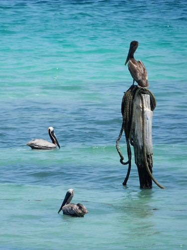 Puerto Morelos - pelikanen