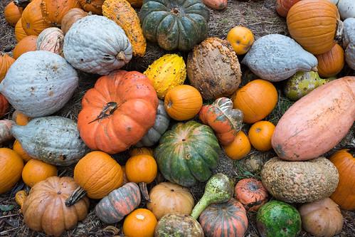 Pumpkin Village Dallas Arboretum | by VoxLive