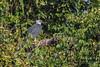 Harpy Eagle, adult by Kester Clarke
