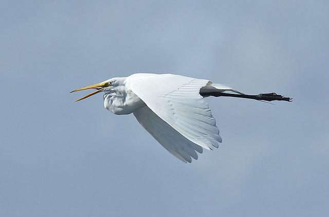 Mjallhegri-Great Egret-Ardea alba
