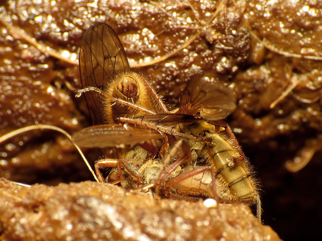 Dung Fly Threesome