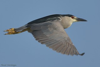 Black-crowned Night Heron (Nycticorax nycticorax) Kwak | by Michiel Oversteegen - amateur photographer