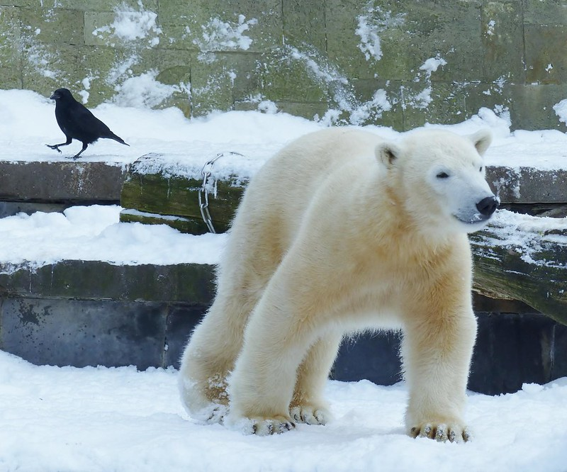 polar bear time