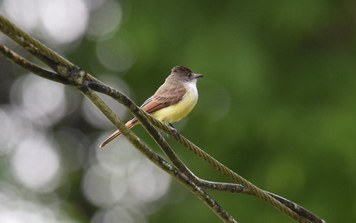 Dusky-capped Flycatcher | by Wildreturn