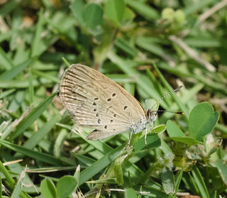 "Pale Grass Blue ""Zizeeria maha serica"" | by esmerelda25"