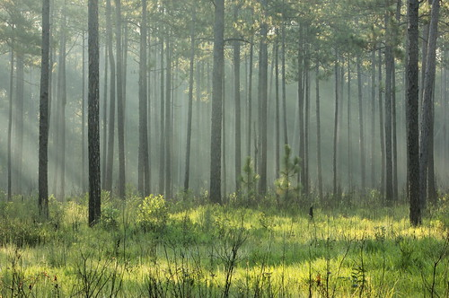 morning trees summer lana nature fog pine sunrise louisiana pines grasses sunbeams crepuscular savanna photooftheday gramlich abitasprings tnc thenatureconservancy sttammanyparish digitalphotomagazine abitacreekflatwoodspreserve canoneosrebelt2i lanagramlich aug152015 dailynaturetnc16