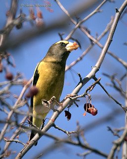 Evening Grosbeak (Coccothraustes vespertinus) | by Sharon's Bird Photos