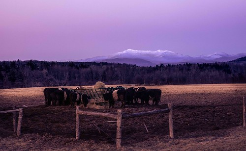 winter sunset mountain landscape us vermont unitedstates cows fields hay mansfield williston bluengold