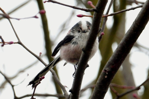 Long-tailed Tit | by Andrew Skotnicki