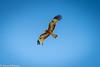 Square-tailed Kite \ Lophoictinia isura by aaron.wiggan
