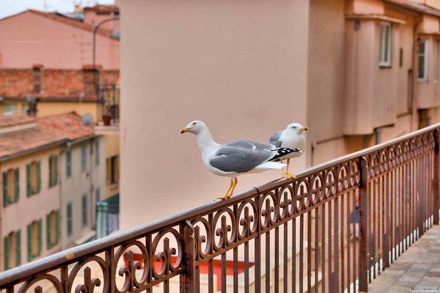 Segull  in Cannes