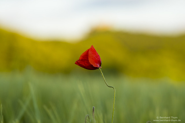 Poppy flower and the castle N°2