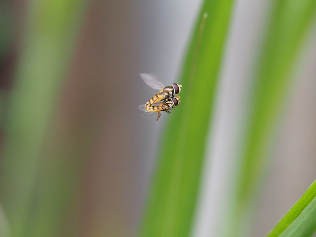 Mating Hover Flies