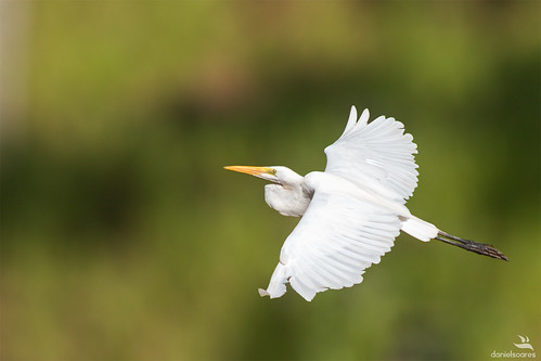 Great Egret | Garça-branca-grande (Ardea alba) | by Daniel_SA