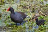 Common Gallinule (Gallinula galeata) With Downy Chick by Kim Toews Photography