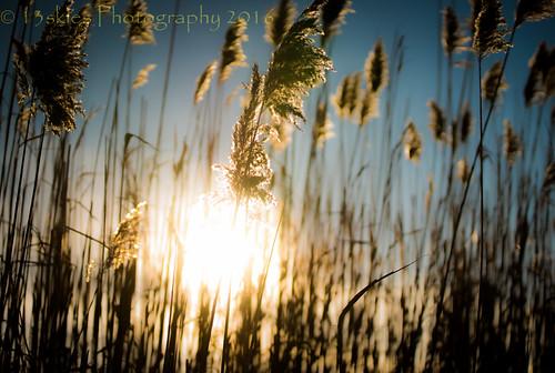 wild cold sunshine reeds surroundings goldenhour lowsun