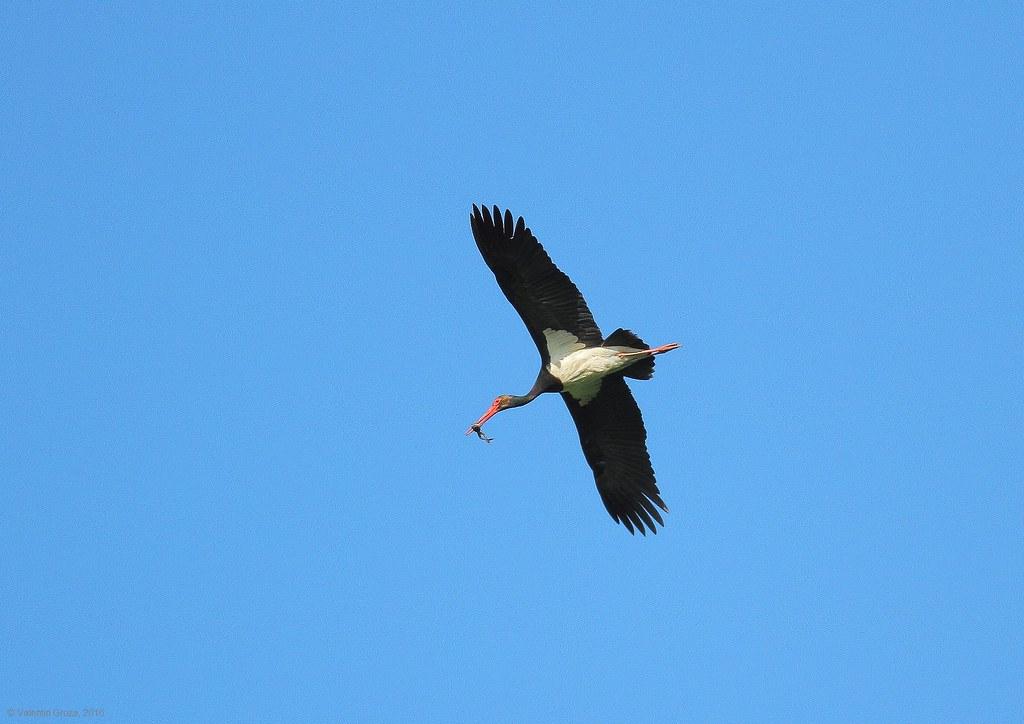 black stork with frog 2