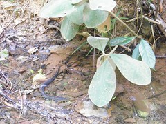 Sneaky Creek Eel