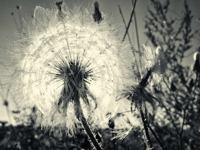 Dandelion childhood