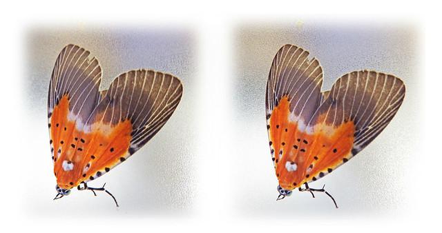 Moth: cross view 3D