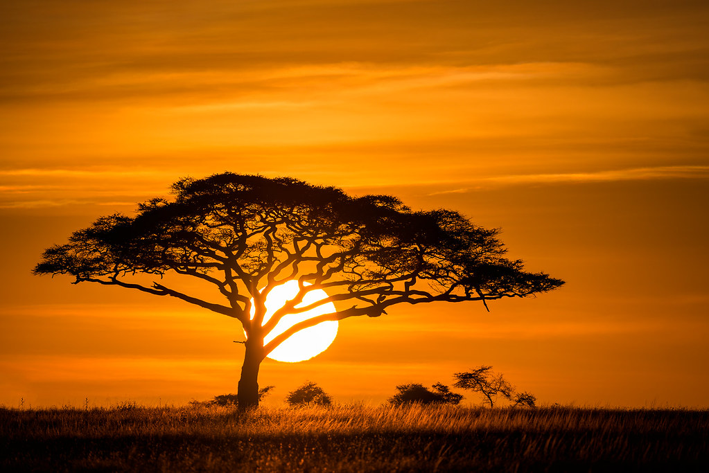 Sunrise On The Serengeti The Umbrella Thorn Acacia Tree Is Flickr